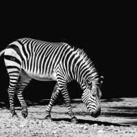 africa-animal-black-and-white-black-and-white-259351