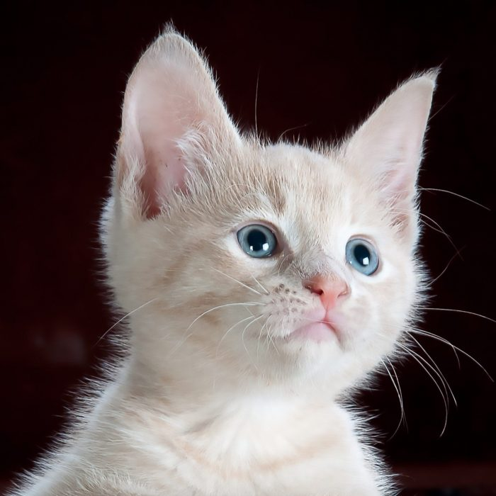 animal-pet-cute-kitten-45201