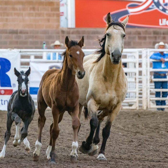 animals-cowboy-equine-foal-159889 (1)