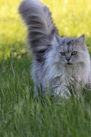 asian-semi-longhair-cat-on-grass-1296660