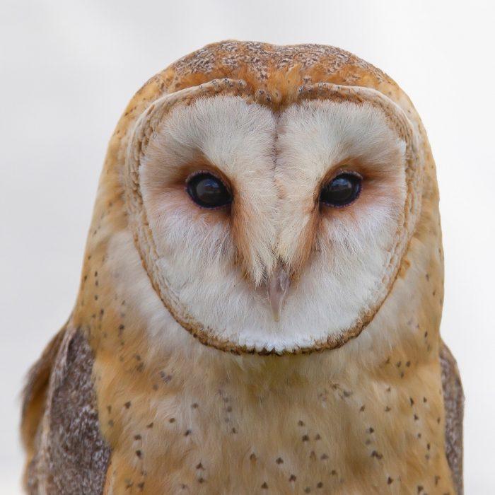 bird-barn-owl-106685