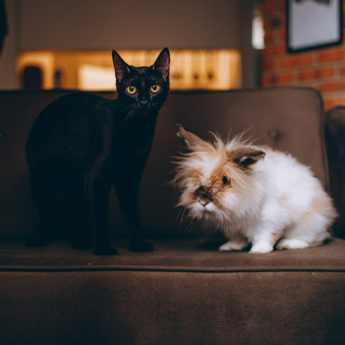 black-cat-on-sofa-1931370