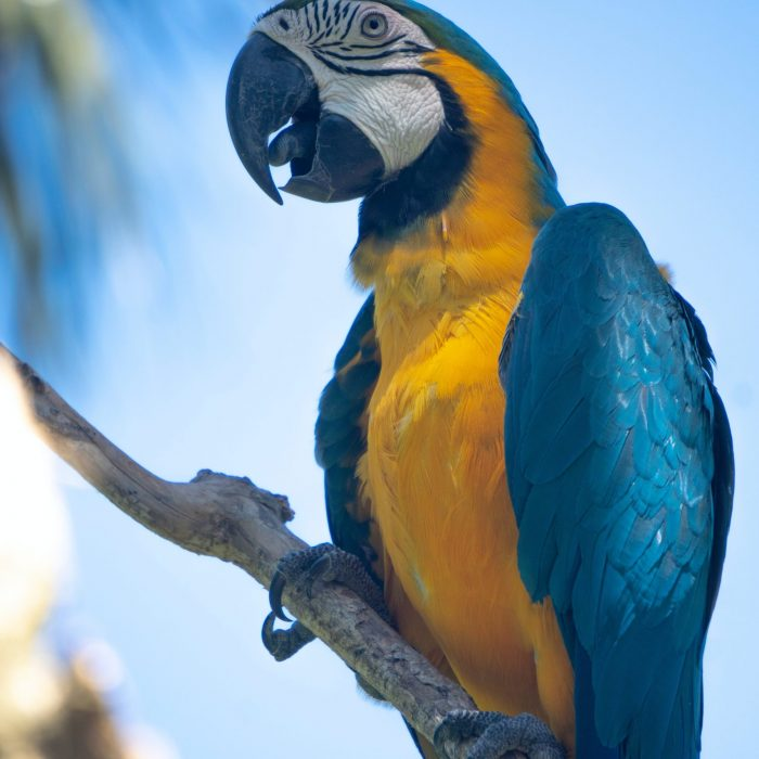 blue-and-yellow-macaw-perched-on-twig-2078772