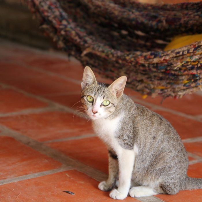 gray-tabby-cat-1049641
