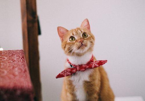 orange-tabby-cat-with-red-handkerchief-sitting-on-white-1741205