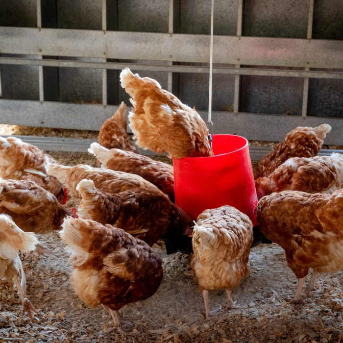 peep-of-brown-chicken-1300375
