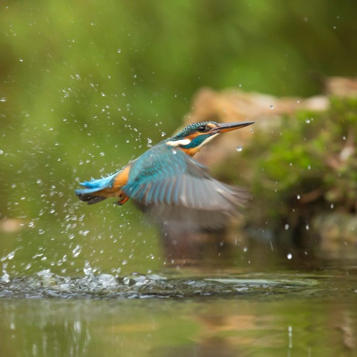 photo-of-common-kingfisher-flying-above-river-733090