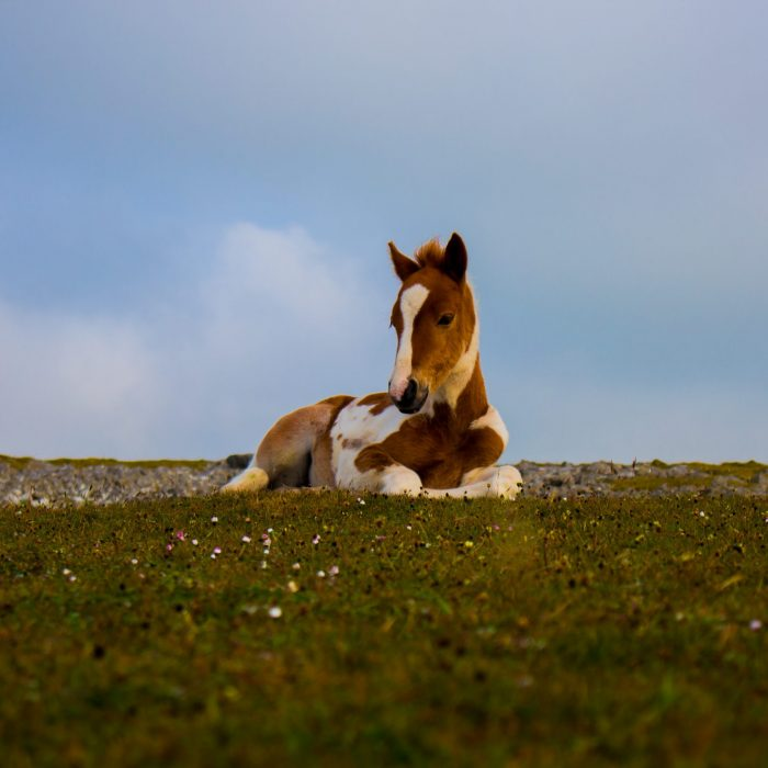 photo-of-white-and-brown-foal-lying-down-on-grass-2867134
