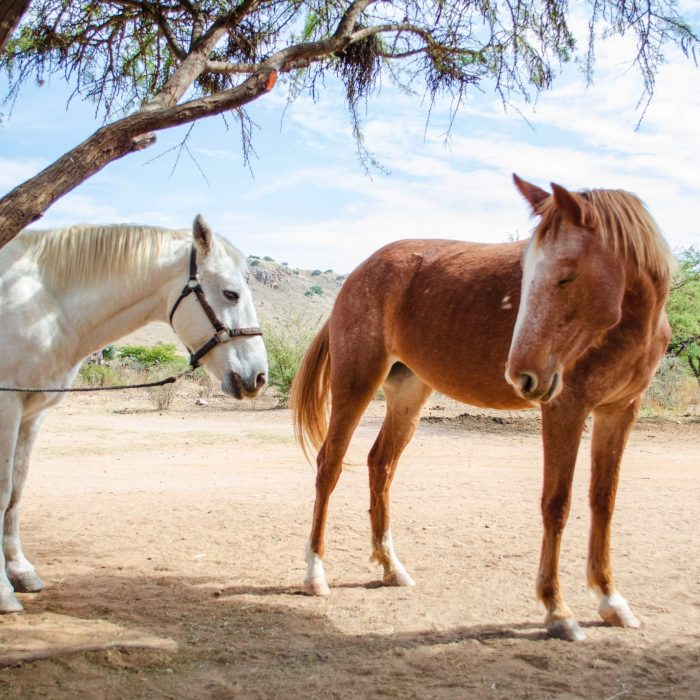 photo-of-white-and-brown-horses-standing-under-tree-2566476