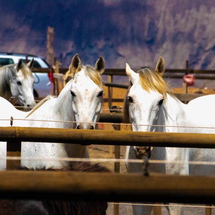 three-white-horses-on-a-barn-1131543
