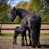 two-black-horse-on-field-634612