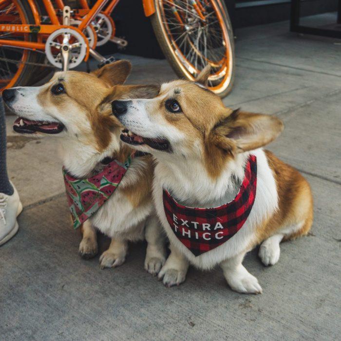 two-corgi-dogs-sitting-on-sidewalk-2853547