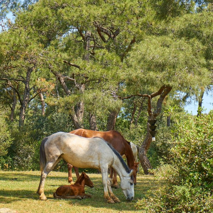 white-and-brown-horses-eating-grass-1493219